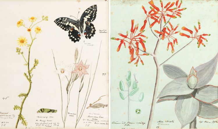 Isaac Louis Drege; Thirty botanical watercolours depicting indigenous plants in and around Port Elizabeth