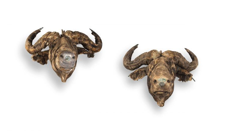 Wim Botha; Buffalo Heads; two