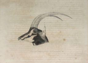 William Cornwallis Harris; Head of Black Antelope, as preserved in the British Museum
