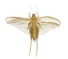Walter Oltmann; Locust