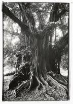 George Hallett; Portrait of a Tree, Cameroon