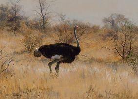 Dino Paravano; Male Ostrich