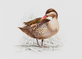 Penny Meakin; Red-Billed Teal
